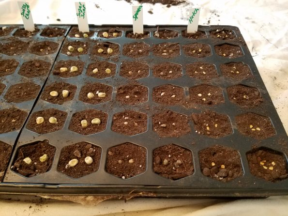 Starting Seed Sugar Snap Spinach Hatch Green Chiles