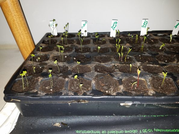 Starting Seed Kale Collard Swiss Chard Sugar Snap Sprouts