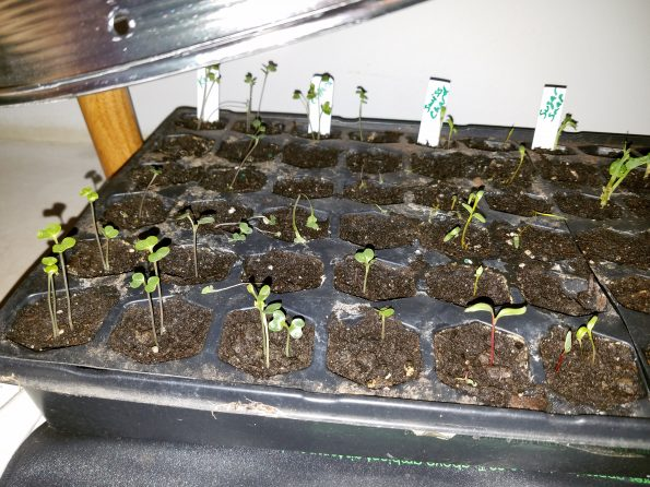 grow seeds indoors dying sprouts dying seedlings
