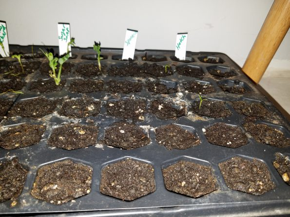 grow seeds indoors hatch green chilis spinach sprouting seedlings