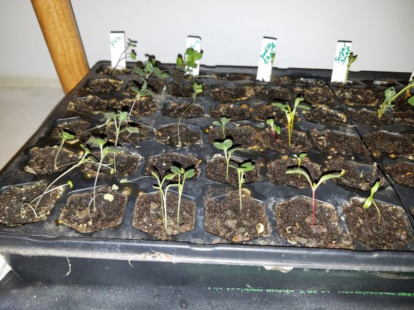 growing seedlings