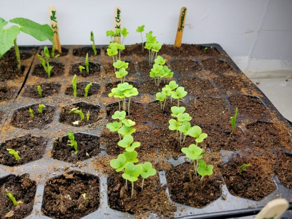 starting seedlings