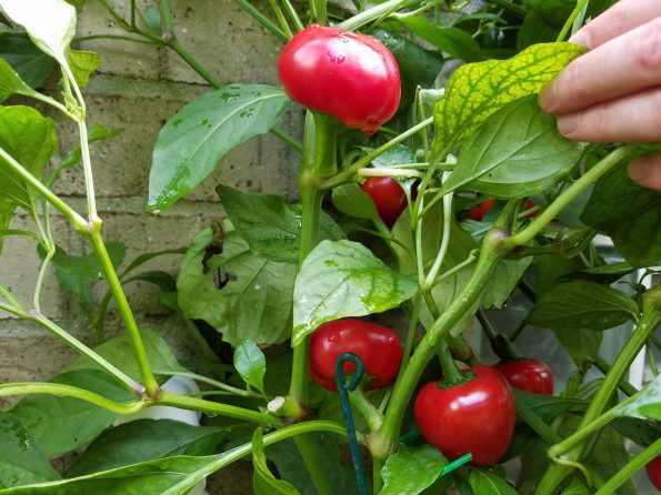 Cross Pollinating Peppers